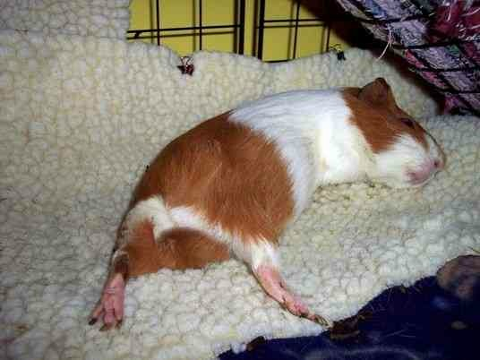Very happy guinea pig sleeping on fleece!
