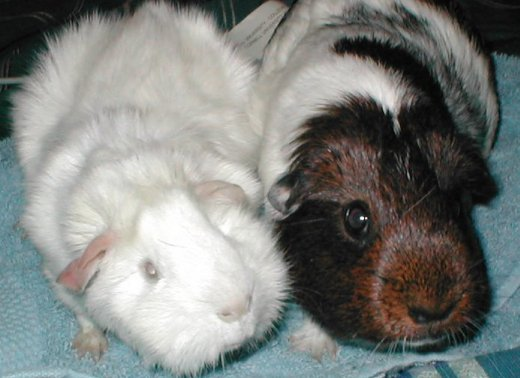 Guinea pig with microthalmia.