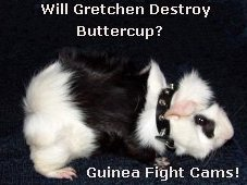 Guinea Fight Cams