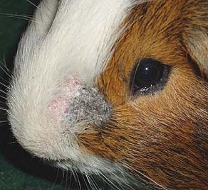 Fungal infection on guinea pig.