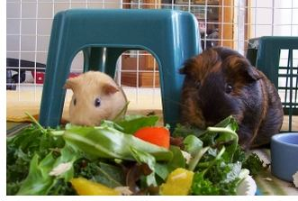 Guinea pigs eating fresh vegetables.