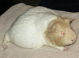 Pregnant Guinea Pig. Thanks to mmercedesmom for the photos of Dutchess.