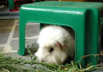 Plastic stool with happy guinea pig under it.