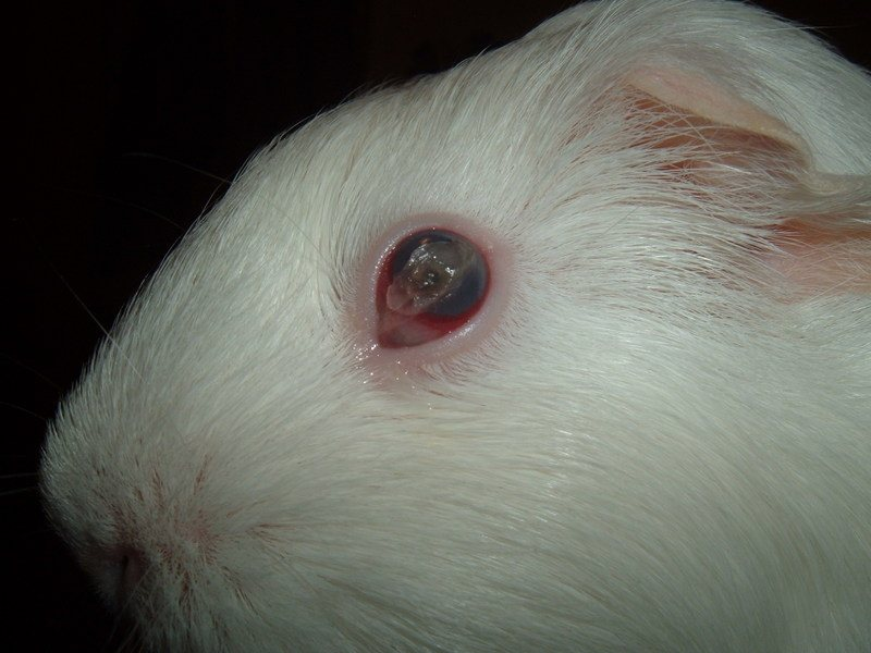 Guinea Pig Has Crusty Eyes Guinea Pigs With Eye Infection