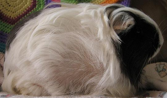 Guinea pig with typical hair loss due to ovarian cysts.