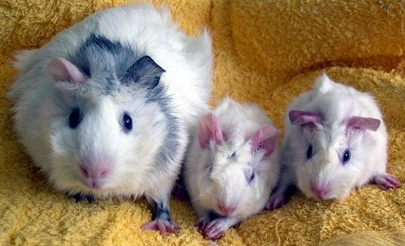 Family of guinea pigs.