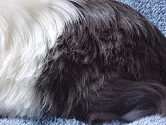 Guinea Lynx Hair Loss