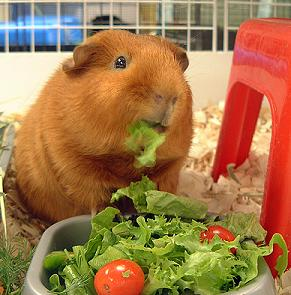 What Is A Guinea Pig S Favorite Food